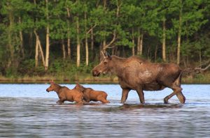 Moose Family_160710